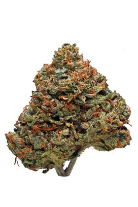 Critical Hog - Sativa Cannabis Strain